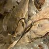Milkweed Pods II