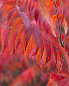 Fall Sumac Leaves