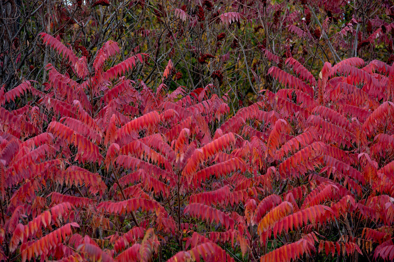 Riot of Sumac Color
