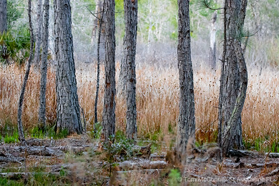Pine Trees on Brown Marsh Grass, St. Augustine Florida