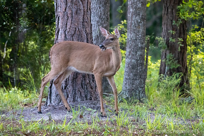 White Tailed Deer St. Augustine