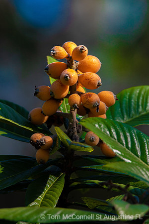 Japanese Plum Loquat St Augustine South