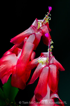 Christmas Cactus in Florida