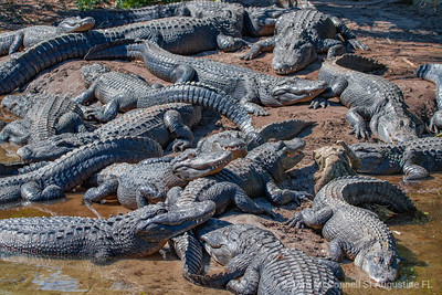 Alligators, Alligator Farm, St. Augustine Florida
