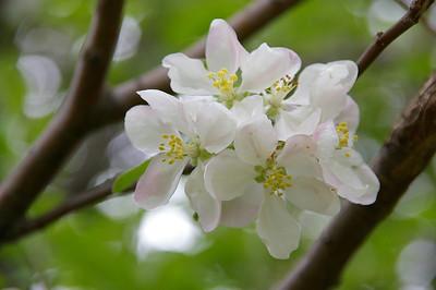 Wild Apple Blossoms