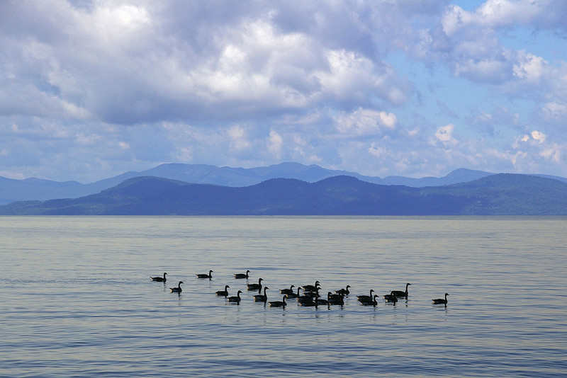 Geese on Lake Champlain