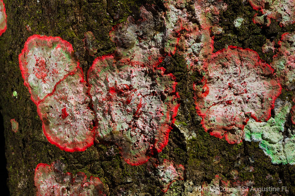 Red Fungus on Tree Bark