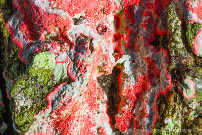 Red Fungus on Oak Tree Bark