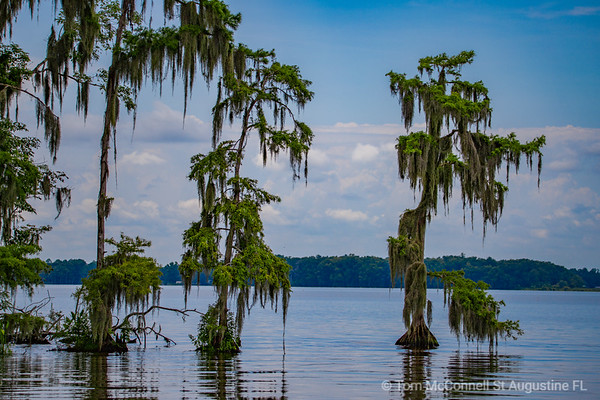 Lone Cypress, Tree St. Johns River, St. Johns County, Florida