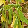 Flowered Bellwort 1