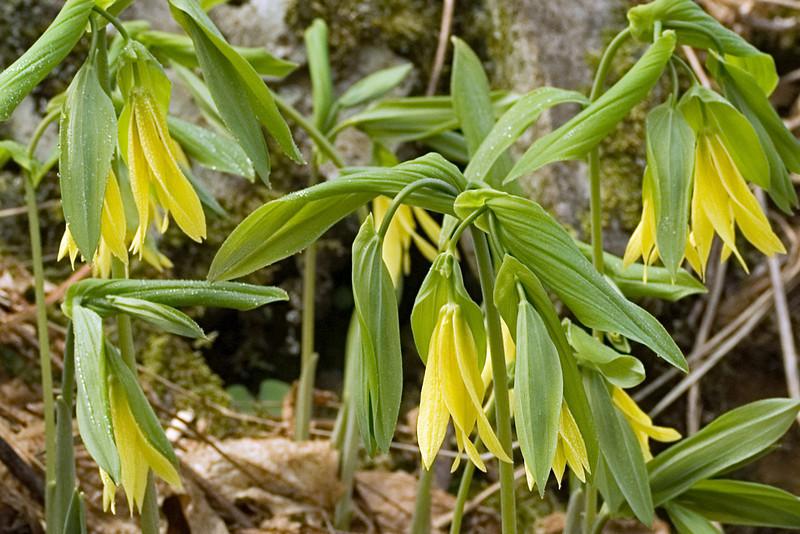 Flowered Bellwort 2