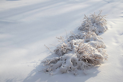 Snow-covered Bushes