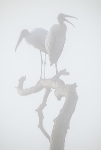 Woodstorks in the fog Circle B Reserve Polk County Florida