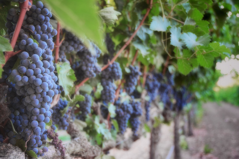 Suisun Valley Vineyard II