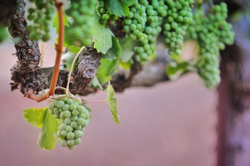 Young Grapevines