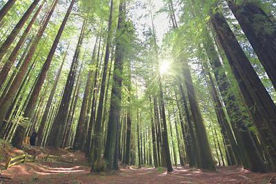 Armstrong Redwoods II