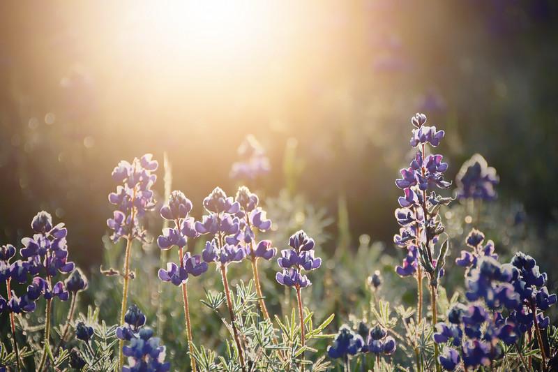 Lupine Sunshine