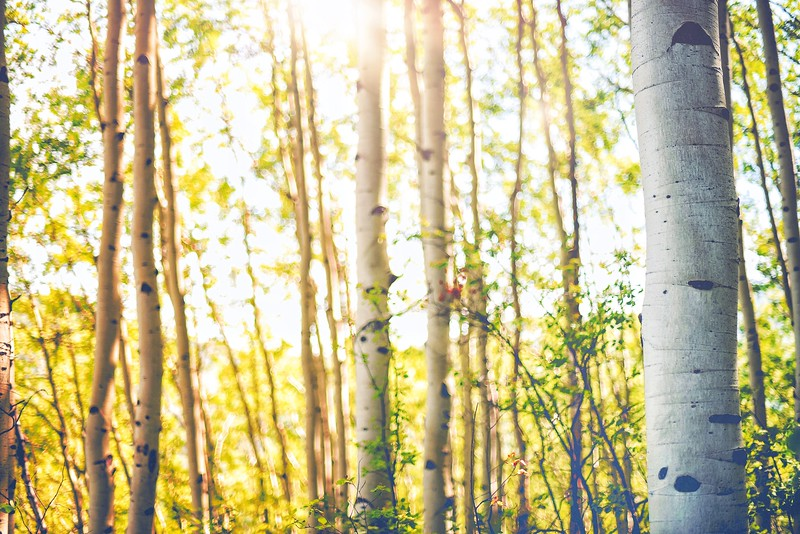 Aspens in Summer