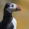 Puffin, Isle of May