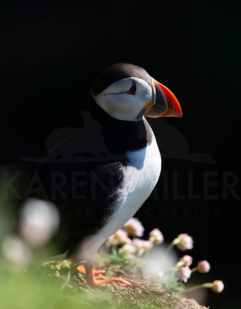 Puffins on the Isle of Lunga, early May 2019