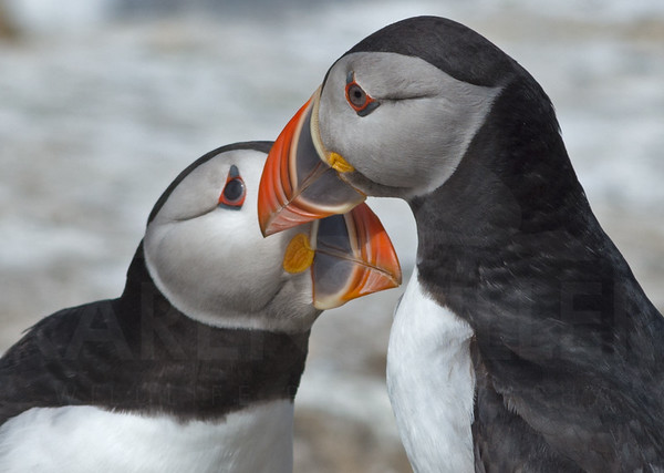 Puffins billing on The Farne Islands