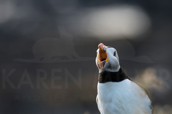 Puffin on Lunga, July 2018