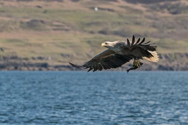 White Tailed Sea Eagle, Isle of Mull