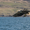 White Tailed Sea Eagle, Isle of Mull
