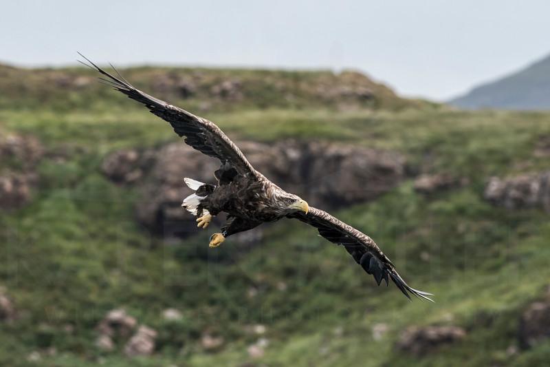 White-Tailed Sea Eagle, Mull, July 2018