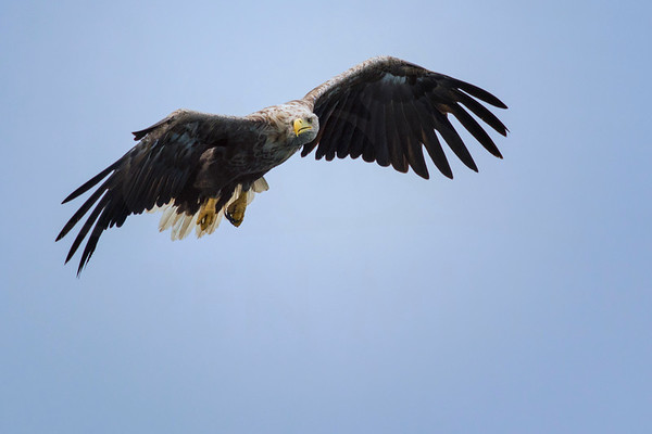 White-Tailed Sea Eagle, Mull, July 2018