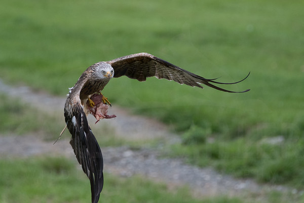 Red Kite, Gigrin Farm
