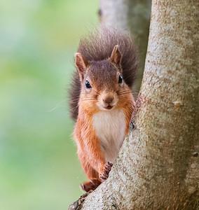 Local Red Squirrel, autumn 2020