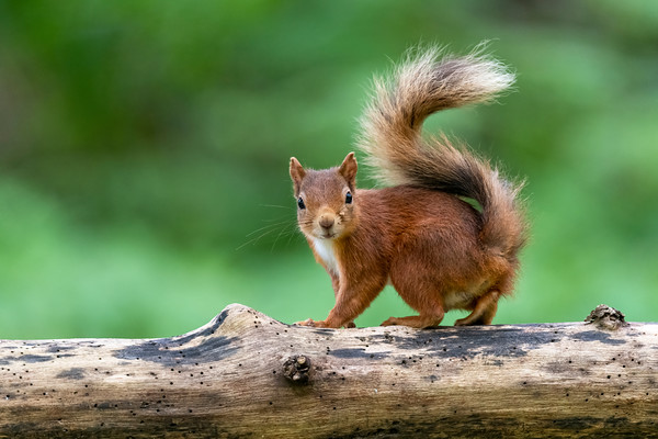 Red Squirrel, local wood