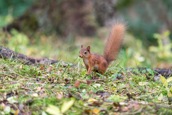 Red Squirrel Kitten