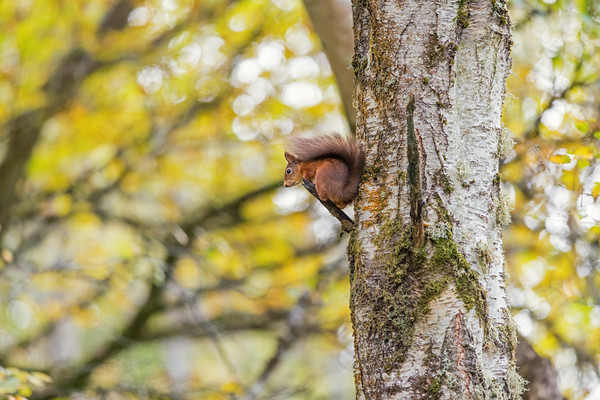 Autumnal Red Squirrel