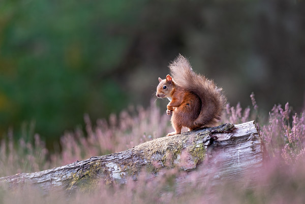 Red Squirrel, Black Isle