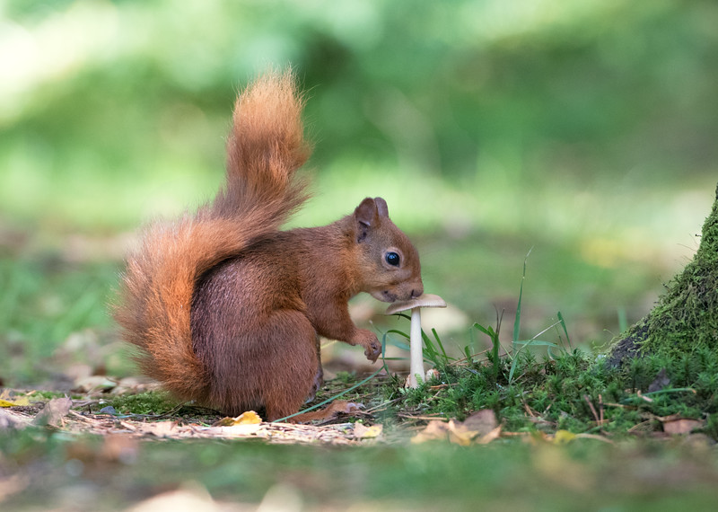 Red Squirrel, Eskrigg Nature Reserve