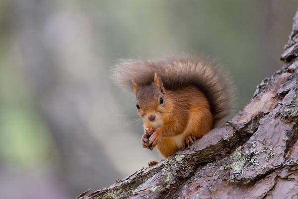 Red Squirrel, Loch an Eilein, Neil McIntyre's hide, august 2017
