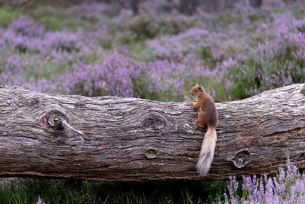 Red Squirrel, Loch an Eilein, Neil McIntyre's hide, august 2017