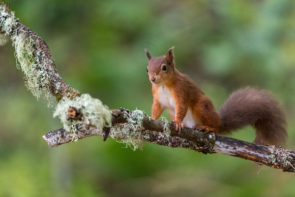 Red Squirrel on Lichen Covered Branch