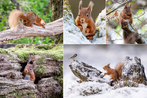 Squirrel Collage