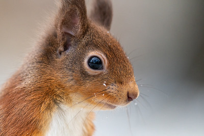 Local Red Squirrels