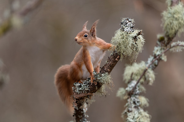 Red Squirrel, Scottish Highlands