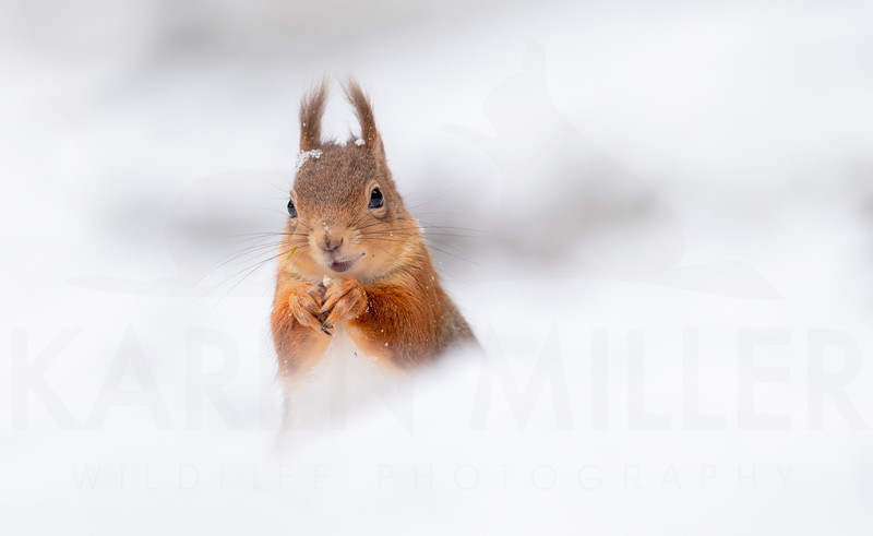 Red Squirrel, Cairngorms