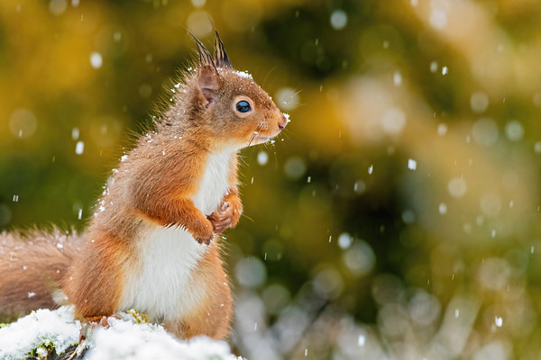 Red Squirrel in the Snow