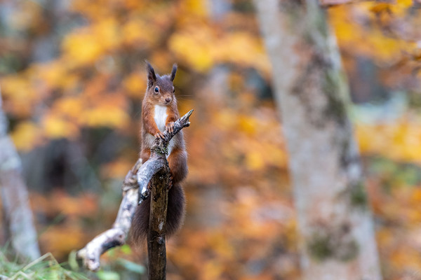 Red Squirrel, Woodland Feeding Station