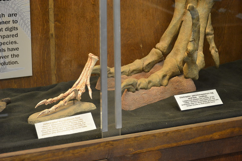 Utahraptor and Velociraptor feet