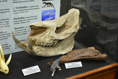 Chilotherium skull and Brachylophosaurus jaw