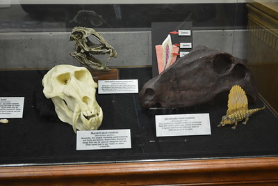 Dimetrodon, Heterodontosaurus, and mandrill skulls, plus tooth anatomy