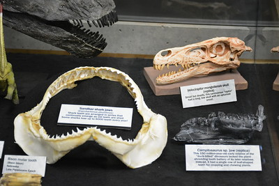Sandbar shark, Velociraptor, and Camptosaurus teeth